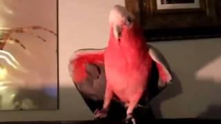 видео прикол прикол с животными танцующи папугай