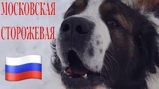 Московская сторожевая / Порода московская сторожевая / Охрана / Дрессировка / Moscow watchdog