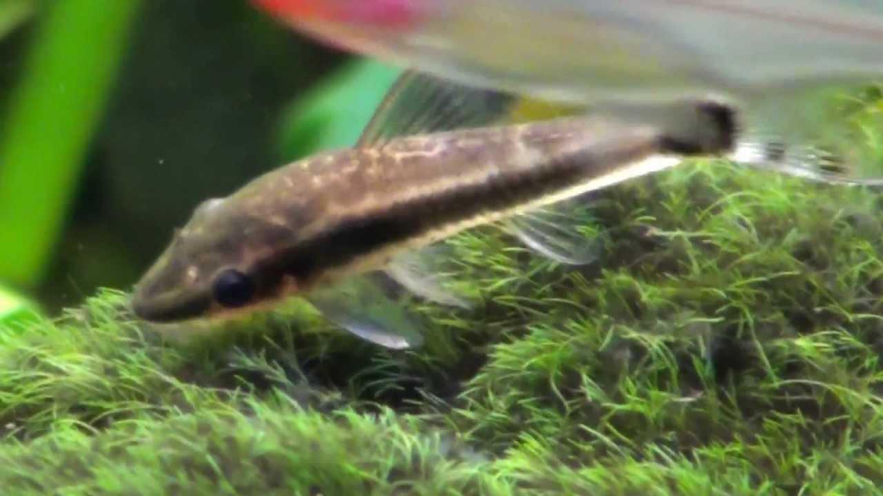 Midget suckermouth catfish