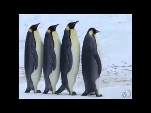 Пингвины. Картинки. Фото. Видео
