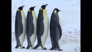 Смешные Пингвины! Говорящие )))  FUNNY PENGUINS! )))