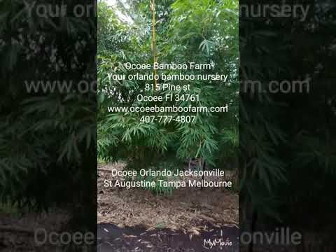 Central Florida Bamboo Plants for sale**Orlando** Visit our