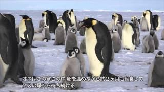 このビデオの情報皇帝ペンギンの営巣地を訪ねる旅.