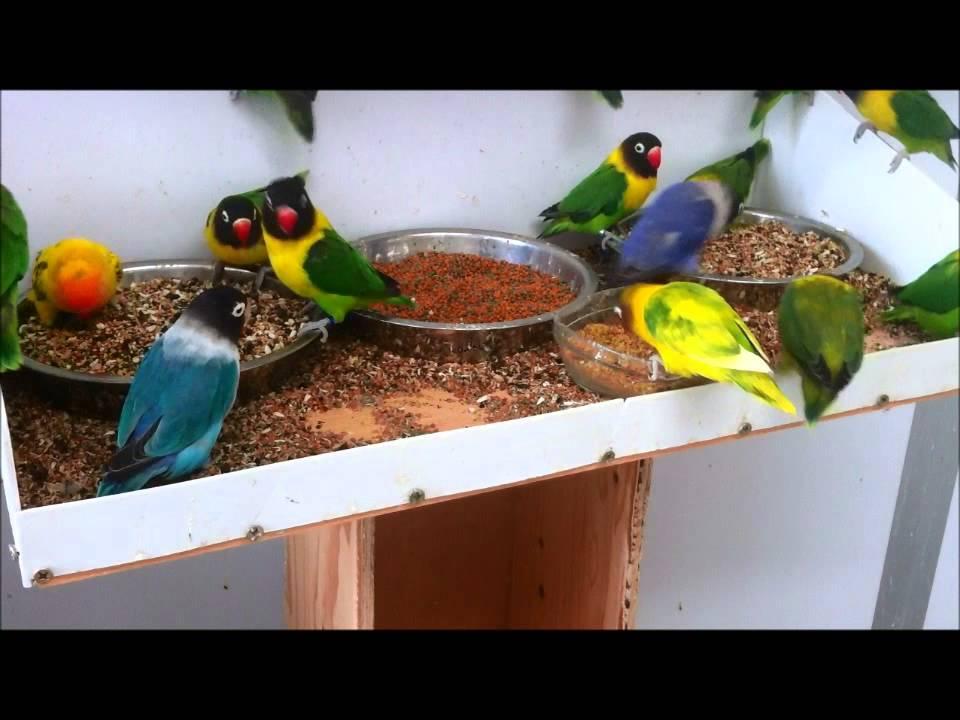 Image result for lovebirds blue feeding