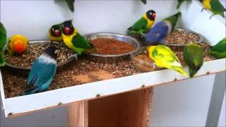 Masked lovebirds (Agapornis personatus) feeding ... again!