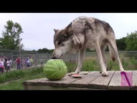 Wolf Park Watermelon Party Youtube