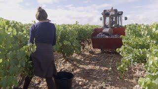 Avanza a buen ritmo la vendimia en Rioja con grandes expectativas