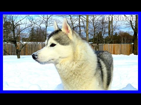 MEMPHIS THE TALKING HUSKY | Funny Talking Dog | Snow Dog Short 54