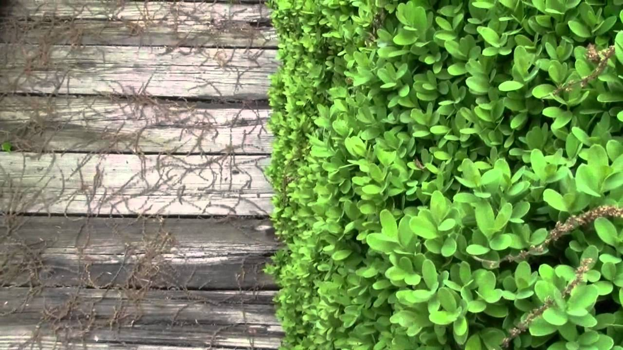 Download SHRUB TIPS AND INFORMATION PT 1 OF 2