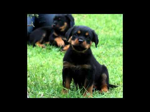 8 Weeks old Rottweiler puppy - YouTube