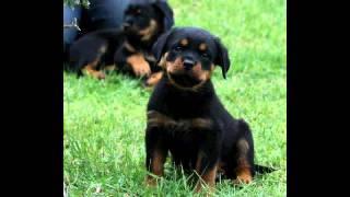 8 Weeks Old Rottweiler Puppy