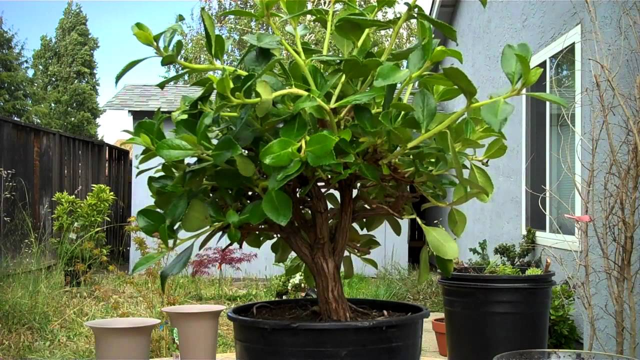 How to create bonsai from local nursery plant:The Escallonia ...