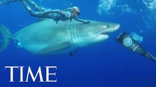 Divers Discovered An Enormous Great White Shark Off The Coast Of Hawaii | TIME