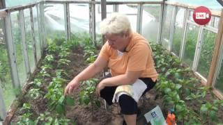Персональный блог садовода и огородника Светланы Кацаповой 40 вып (все про перцы)