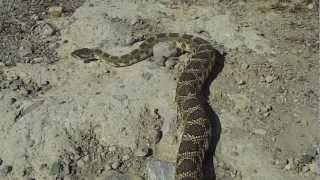 3/27 Northern Pacific Rattlesnake