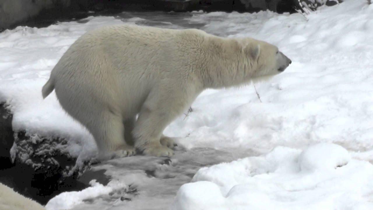 Eisbär Kotet Youtube