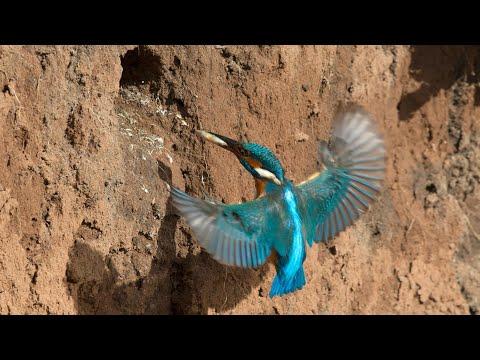 Amazing Kingfisher Bird Nest