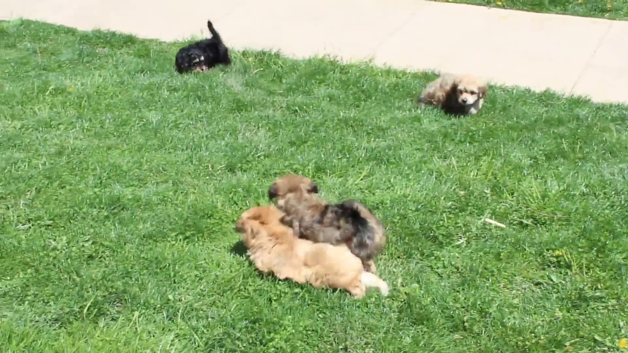 Yorki Chon Puppies For Sale Youtube