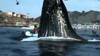 الحوت الاحدب يفاجئ قوارب صيد