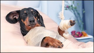 Bed rest! Cute & funny dachshund dog video!