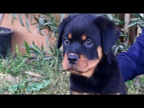 جراوي روت وايلر للبيع حراج | حراج الكلاب 2020 - YouTube