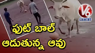 cow-playing-football-match-in-goa-v6-news