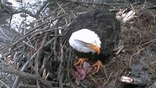 decorah eagles feb 6 2012 9 15 am cst dad eating on branch