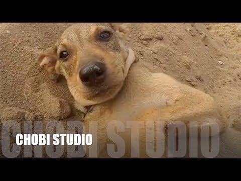 """【マンガロール犬チョビさん】インド犬の短編集 [ 2 ] / Mangalorean Dog Chobi """"Indian Dogs Compilation [ 2 ]"""""""