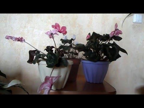 Цикламены в домашних условиях. Особенности выращивания и цветения.