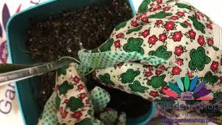 How to tie up a palm tree - Pachira aquatica (Money Tree Plant)