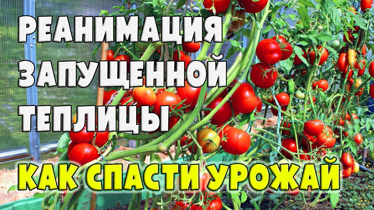 РЕАНИМАЦИЯ ЗАПУЩЕННОЙ ТЕПЛИЦЫ - Как спасти урожай