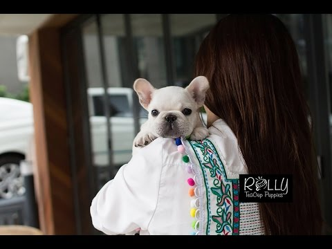 Multi Champion Bloodline French Bulldog NOT A TEACUP!! Lexy - Rolly Teacup Puppies