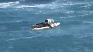 Dog Surfing Hawaii Black Sand Beach Big Island Bull Terrier #1