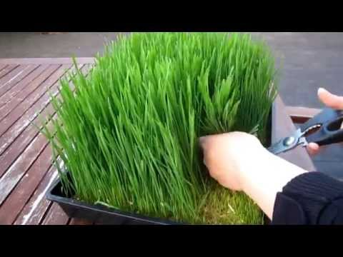 How to grow organic wheatgrass - Easy Home Grown Outdoor