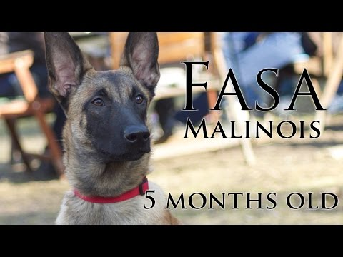 Malinois puppy - Fasa - 5 months old