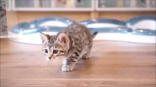 Indigo & Diego's kittens at 7 weeks