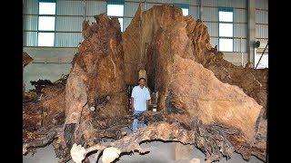 35 tỷ cho một gốc cây bàng 600 tuổi nhưng chủ không bán