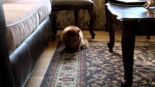 Pomeranian W/ Food Vs. Foot