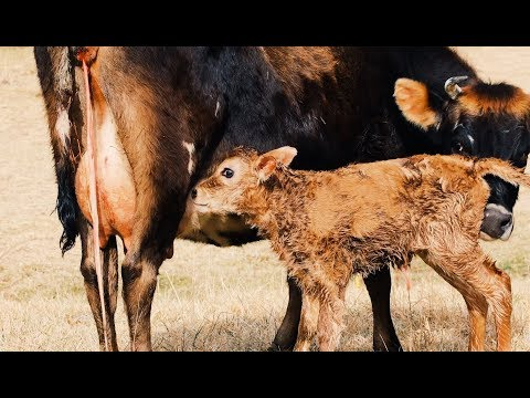 Here's the 1st Hour of A Calf's Life + Why it's Critical
