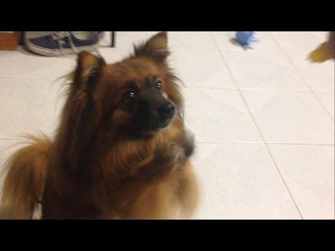 Cute Pomeranian dog begging for food