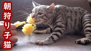 子猫のあめは朝からオモチャで遊んでいます。 掃除がしたいおかあはんですが、オモチャを離してくれません。 元気があっていいんですが・・・...