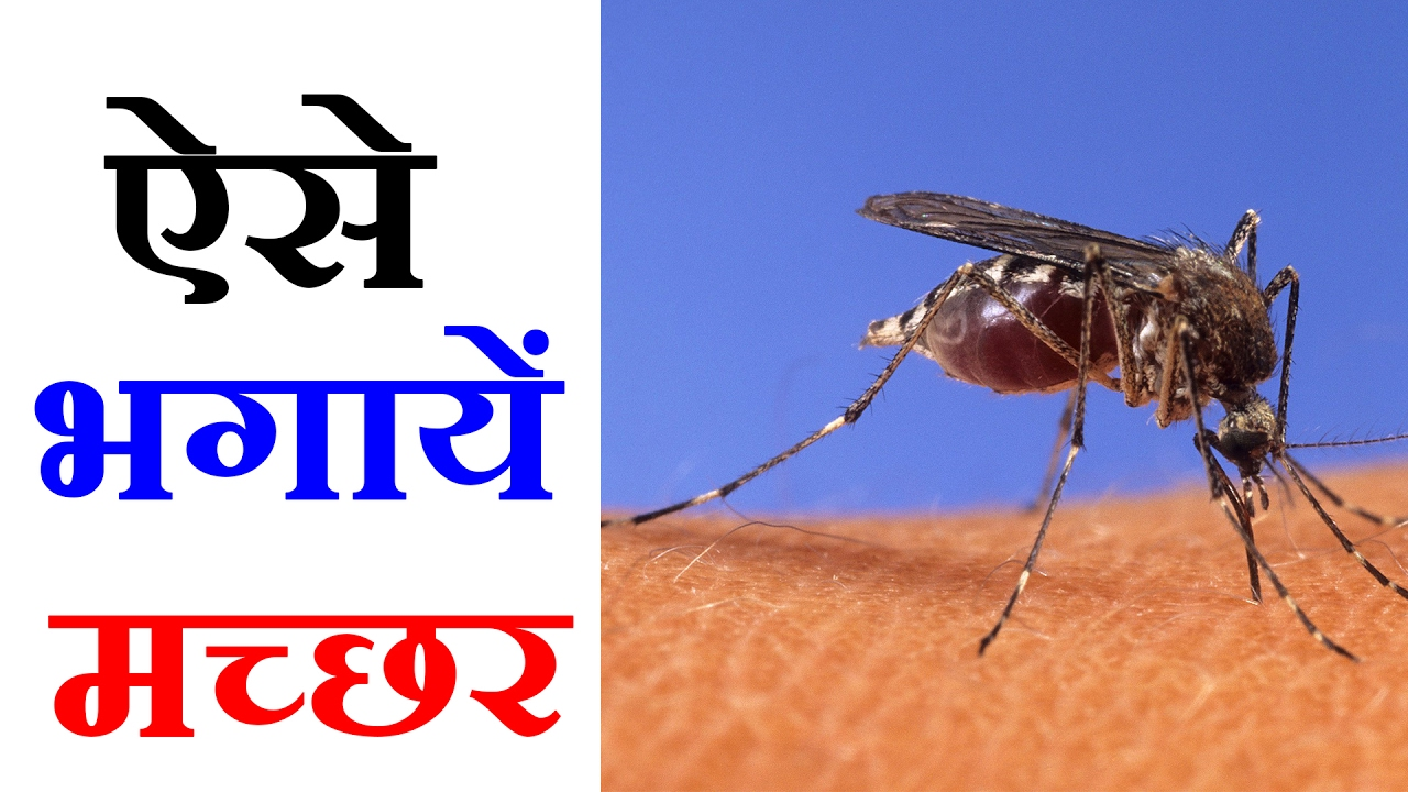 Mosquito Repellent 7 Best Natural Ways To Get Rid Of Mosquitoes 5 म नट ह ग मच छर क सफ य