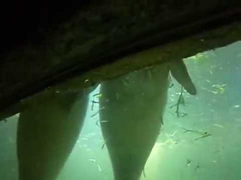 ikan duyung terdampar - photo #15