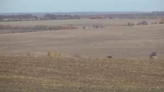 Охота с собаками (хортые борзые) на зайца