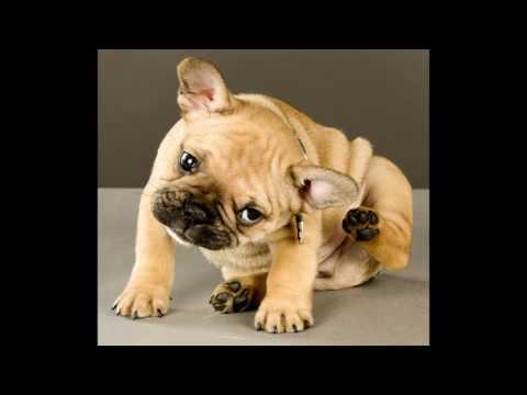 animals French Bulldog Dog Breed video