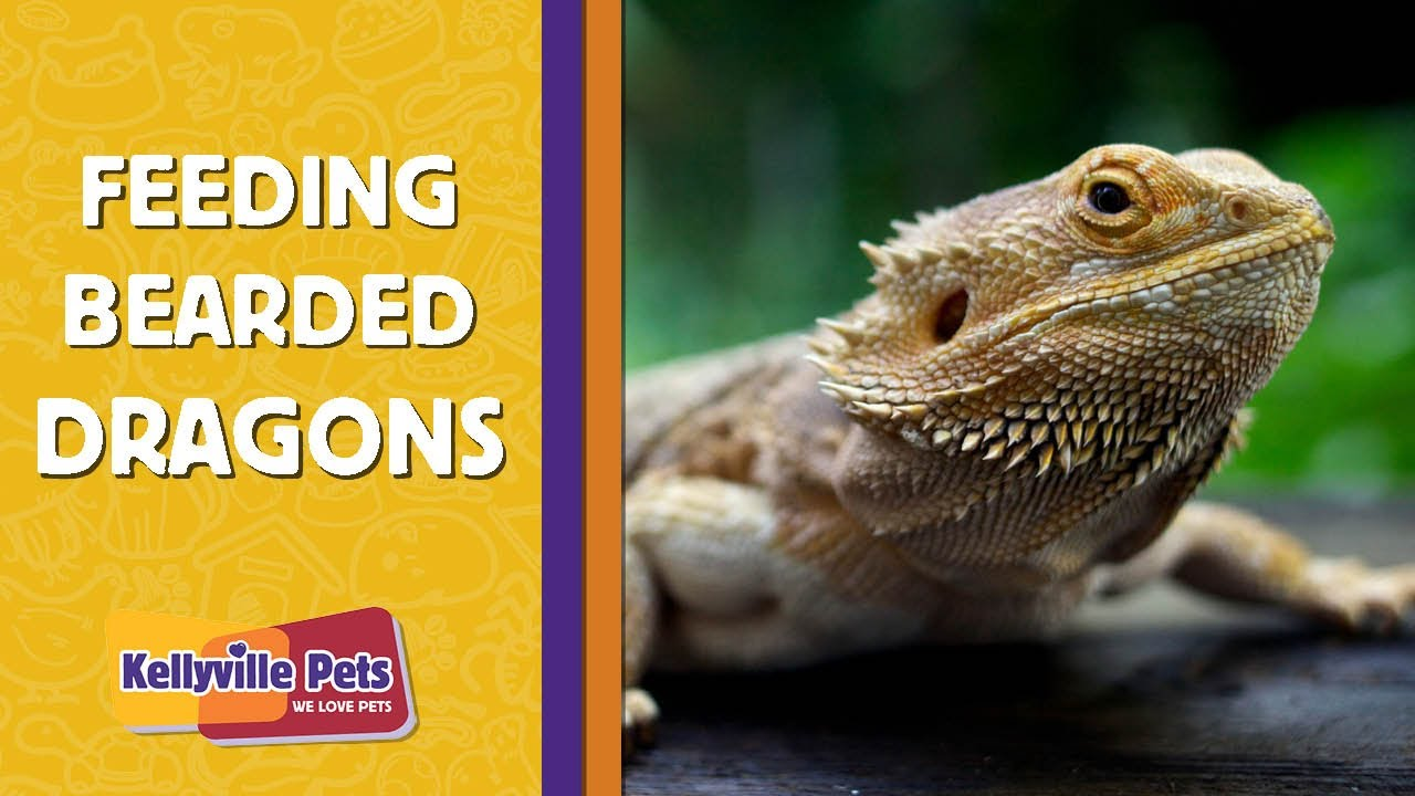What To Feed A Bearded Dragon Kellyville Pets