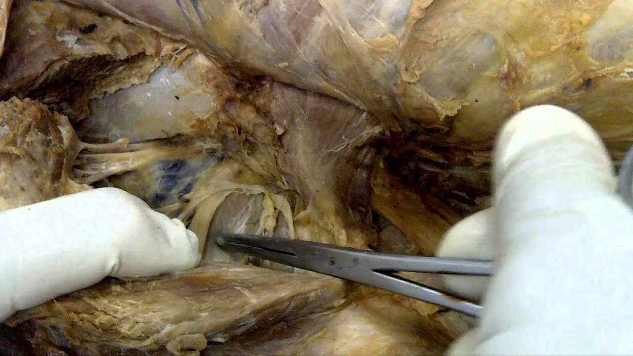 Anatomia I: Miologia - Musculos del gluteo - YouTube