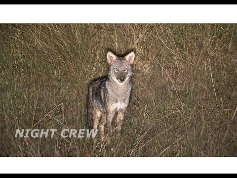 Problem coyote gets justice! Night Crew S1E6 'PROBLEM COYOTES'