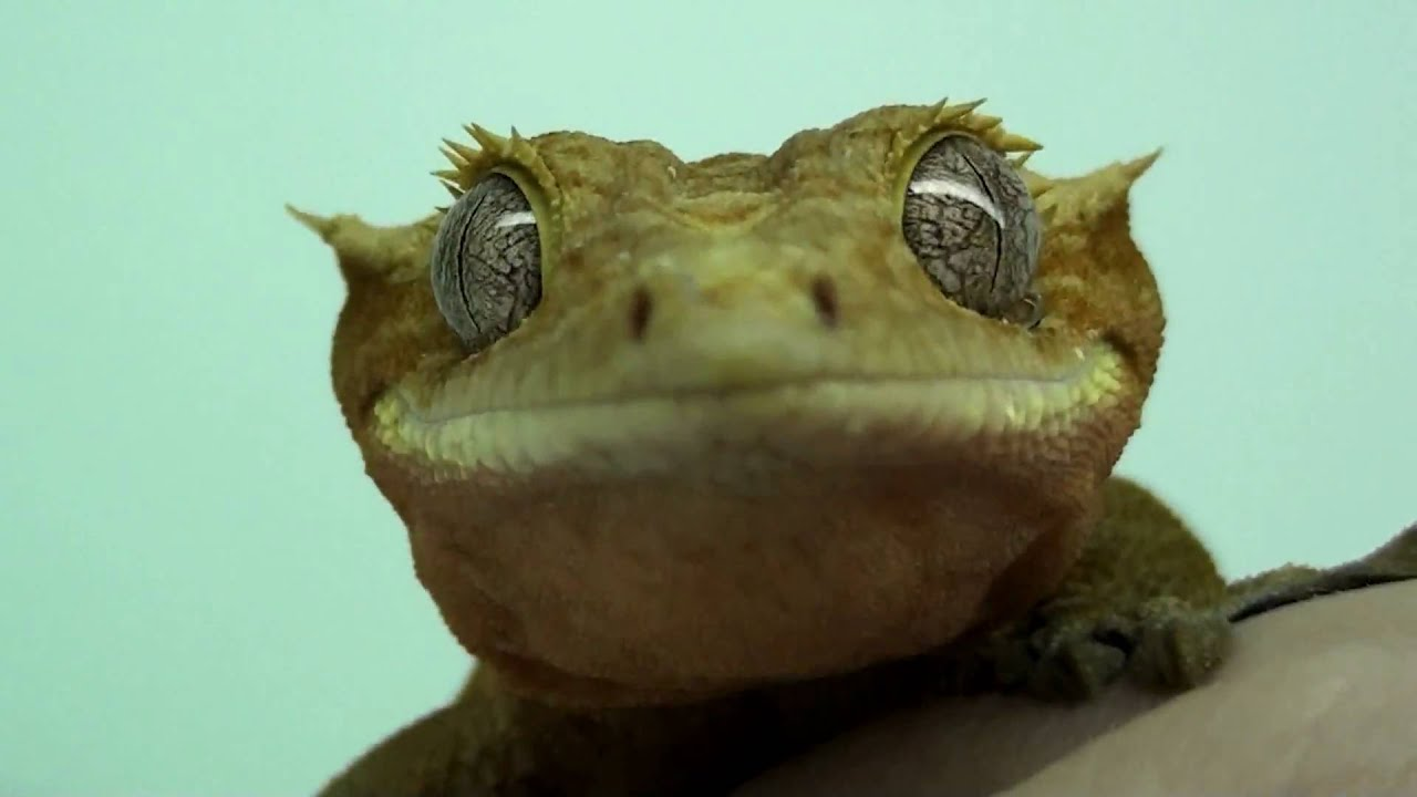 Gecko lick eye