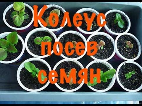 Колеус.Выращивание из семян. Как  вырастить колеус в домашних условиях.